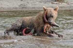 Russian bears: A bear seems overwhelmed by salmon as he tucks in