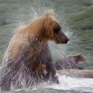 Russian bears: A bear shakes himself after a swim