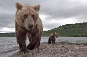 Russian bears: Wild bears hunting for salmon