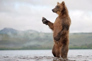 Russian bears: A bear stands on its hind legs