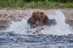 Russian bears: A bear charges into the lake as the salmon leap, trying to escape his claws