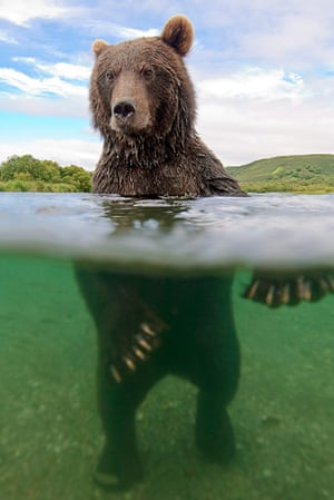 Russian bears: The photographer gets very close to a bear