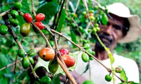 Farmer collects coffee beans