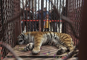 2010 Environment in China: A Northeast Tiger lies in a cage  in Shenyang