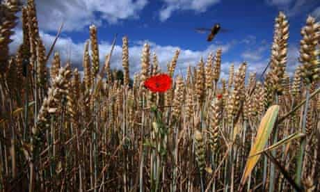 Wheat in Suffolk, UK