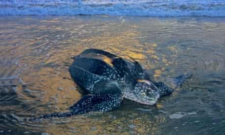 Adult female leatherback sea turtle