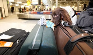A sniffer dog searches bags at Heathrow airport where the terror threat level is now severe