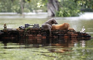 Flooding in Thailand: Dogs find refuge on a wall near a flood submerged ancient temple