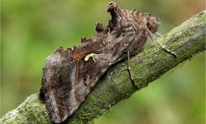A Silver Y moth