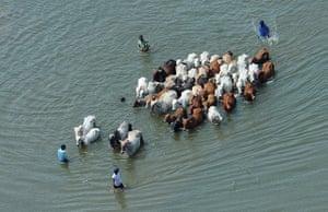 Thailand floods: Men leading cows through floodwaters, Thailand