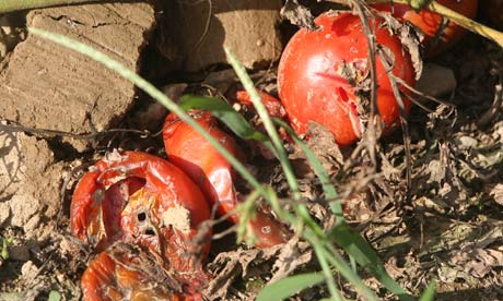 Image result for no one to pick the tomatoes rotting on the vine