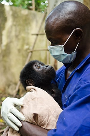 Gorilla rescued: The sting operation was the forth such incident since April
