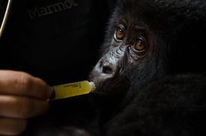 """Gorilla rescued: Dr Jan Ramer said """"Many of these infants are injured"""""""