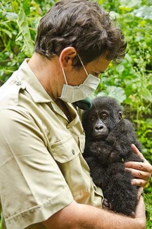 Gorilla rescued: Mountain gorilla's are critically endangered, around 790 remain