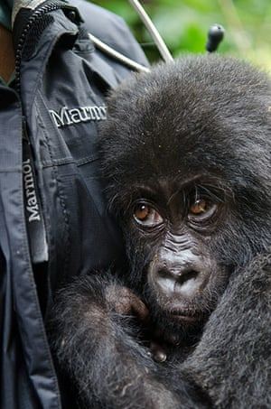 Gorilla rescued: Poached gorilla's are sold for up to $40,000 (£25,350)