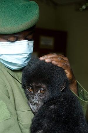 Gorilla rescued: Around 480 gorillas live in the Virunga volcanoes conservation area