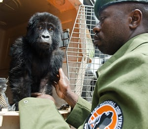 Gorilla rescued: The baby will be named Shamavu after the ranger who rescued her