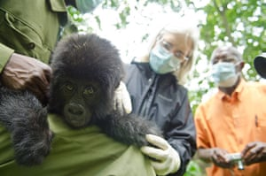 Gorilla rescued: The gorilla will stay at the Grace centre for rescued gorillas