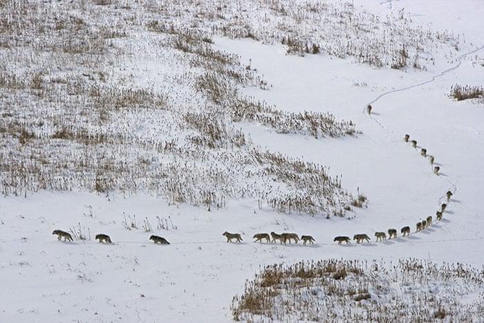 Los 25 Lobos En Fila India Explicación Real De Una Foto Viral
