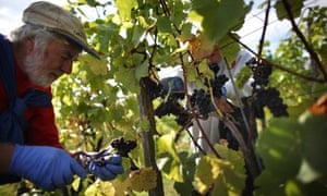 Workers pick pinot noir grapes at Denbies wine estate in Surrey