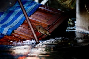 Thailand floods : A rat looks searches for an escape route from flood, Thailand