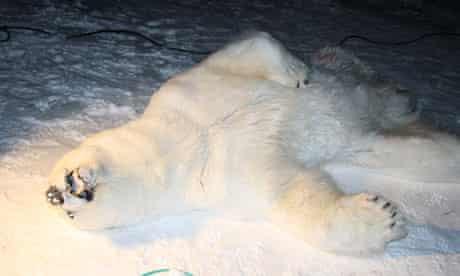 polar bear dead