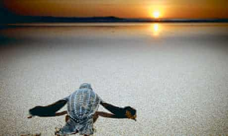 Leatherback turtle crawling towards the sea