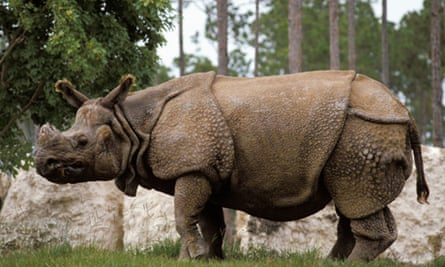 Rhino: Endangered: Indian greater one-horned