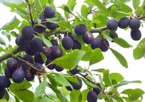 allotment-damson-tree