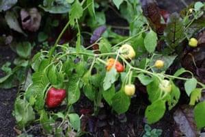 allotment-dark-chillies