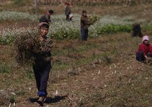 Famine in North Korea: North Korean farmers work in a field on a collective farm