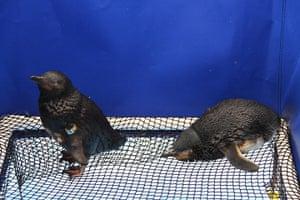 New Zealand oil spill: Oil covered penguins