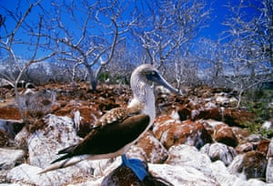 Seven wonders of nature:  Blue-footed Booby bird on Galapagos Islands, Ecuador