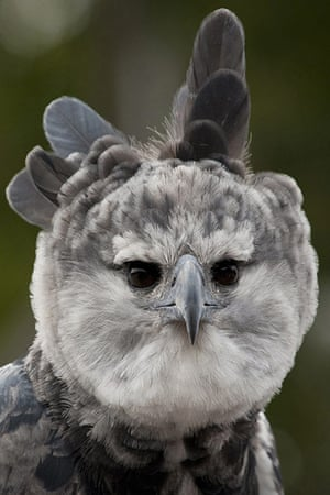 Week in iwildlife: HARPY EAGLE RAISES FEATHERS FOR FESTIVAL OF FLIGHT AT SAN DIEGO