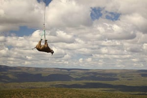 Week in iwildlife: Black Rhino relocation by helicopter in South Africa