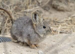 Week in iwildlife: pygmy rabbit
