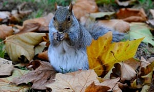 A grey squirrel eats a nut among fallen autumn leaves in St James's Park, London