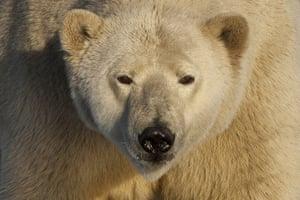 Stranded polar bears: Barter Island, Kaktovik, Alaska
