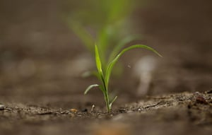 From the agencies: A newly emerged crop stands in a field on a farm near Chinchilla