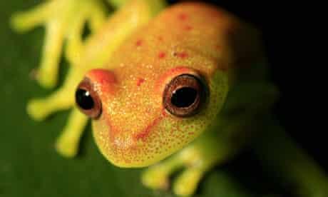 Yellow frog in Colombian Amazon