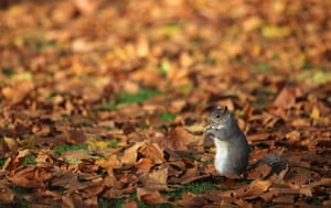 24 hours in pictures: London, UK: A grey squirrel sits in fallen leaves in St James's Park