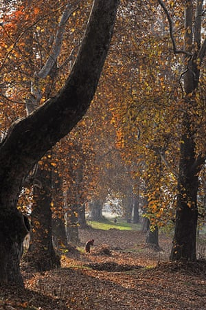 24 hours in pictures: Srinagar, India: A woman collects fallen maple tree leaves