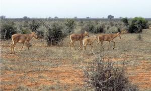Week in wildlife: herd of Hirola or Hunters hartebeest