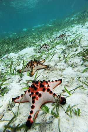 Week in wildlife: starfish lay on a bed of sea grass in the waters of Mansuar Island