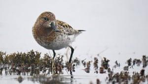 Week in wildlife: Sandpiper rescue bid