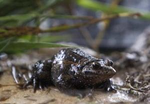 Week in wildlife: A Hula painted frog