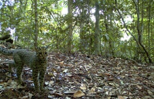 Week in wildlife: A Marbled Cat is captured using camera traps, Sumatra