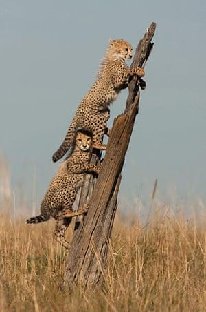 Week in wildlife: Young cheetahs use tree trunk as lookout, Kenya, Africa - 2011