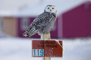 Week in wildlife: An snowy owl hunting lemmings around the city of Barrow, Alaska