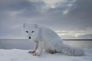 Week in wildlife: Arctic Fox, Point Barrow, Alaska